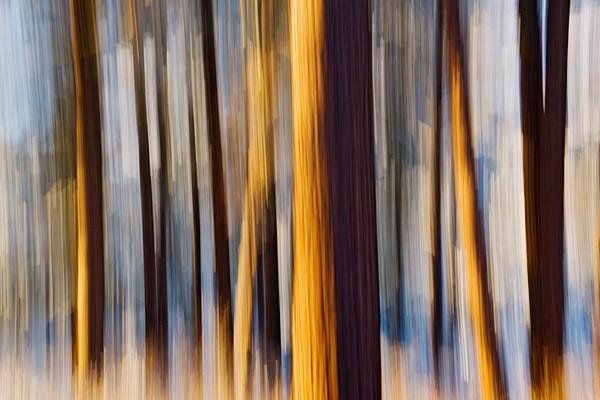 #224 Winter Pines 1