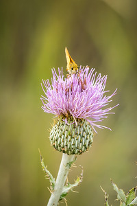 Thistle Drink