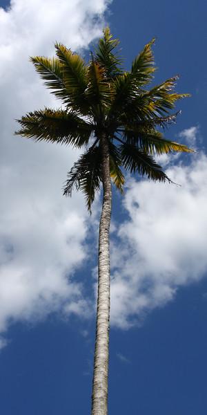 JamaicanpalmIMG vertical crop