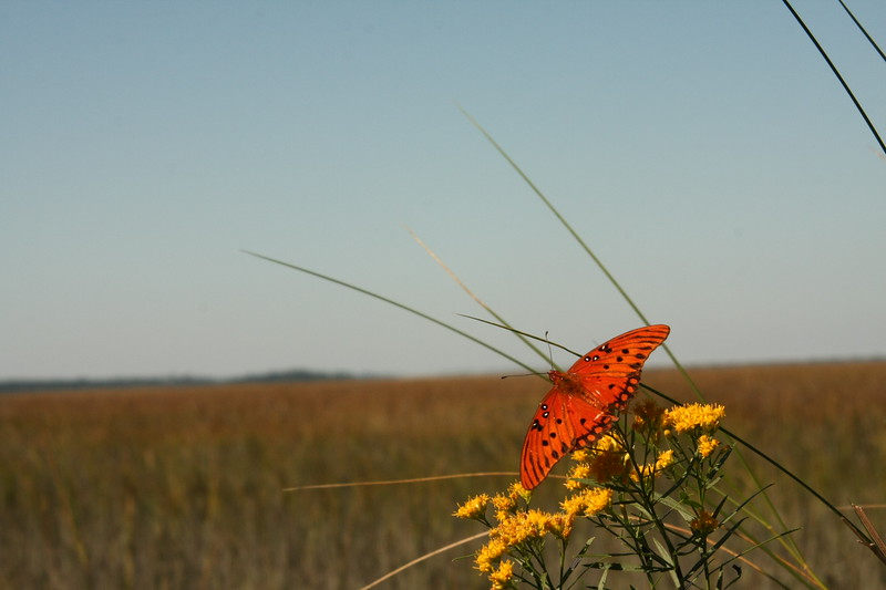 Butterfly Against Marsh, Remote Island, SC