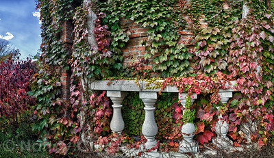 Autumn Ivy HDR