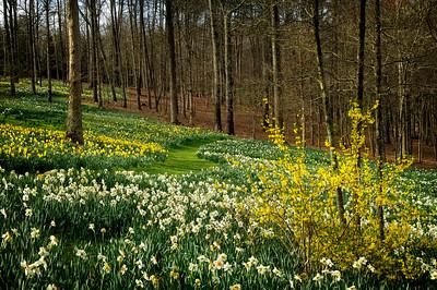 """Daffodil Pathway"""