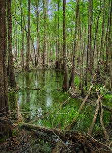 """""""Okefenokee Swamp #1"""""""