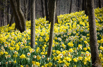 """Daffodils Among the Trees"""