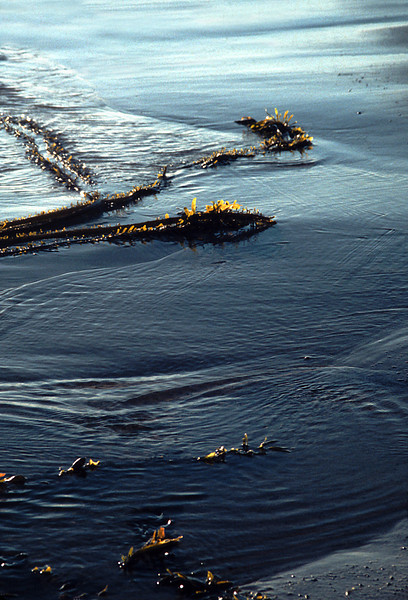 Kelp Alaska, 2000<br /> Film Photography