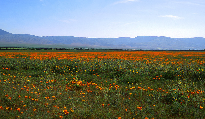 California's Poppies, 1992<br /> Film Photography