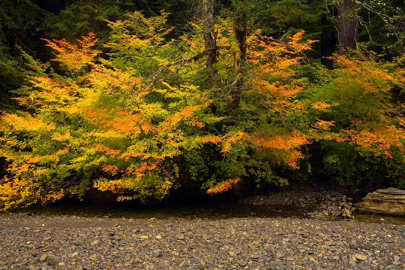 Sol Duc River Vine maple