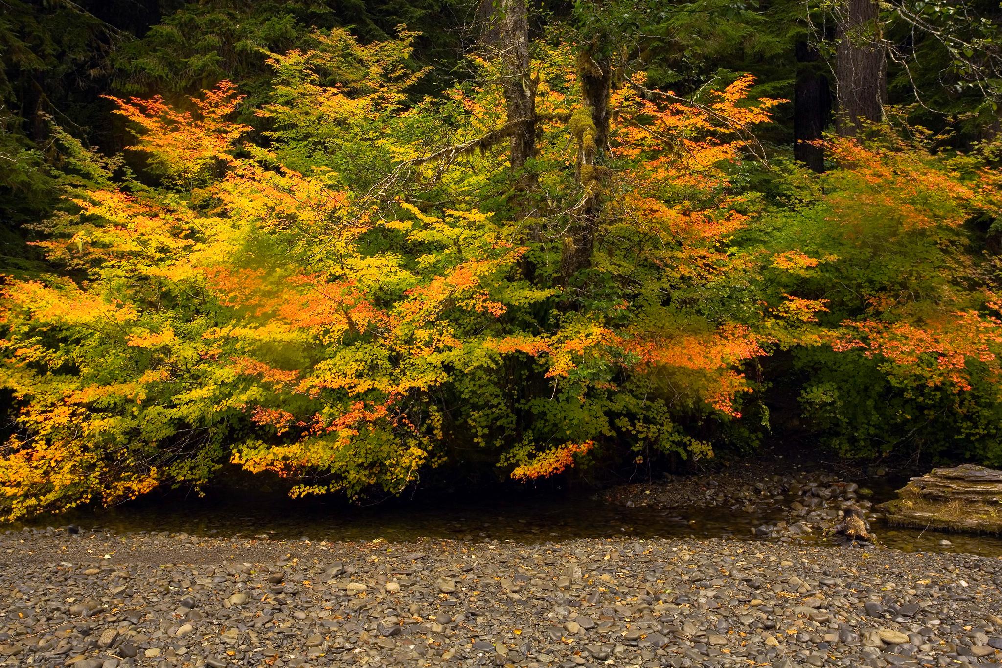 Sol Duc River Vine maple