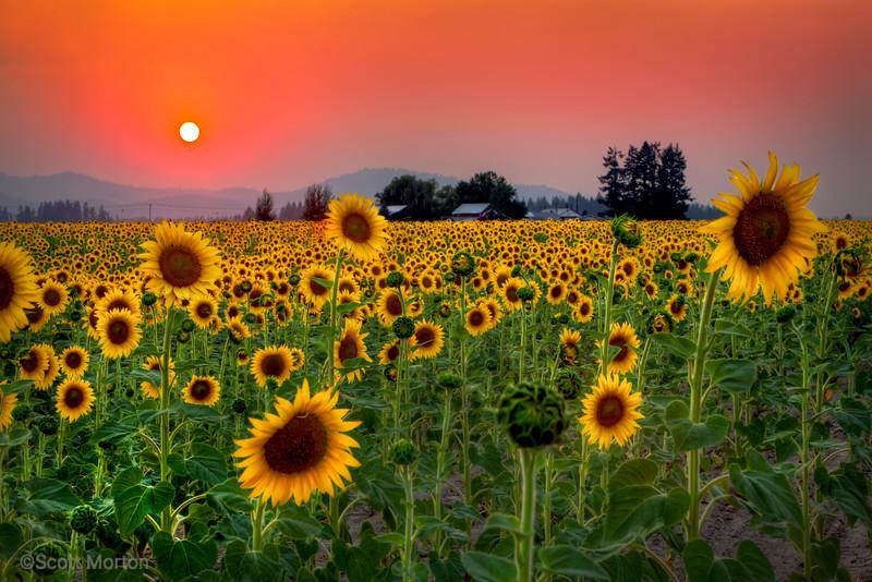 Sunflower Sunset – Deer Park, WA