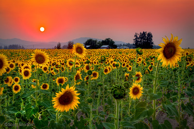 Sunflower Sunset – Deer Park, WA