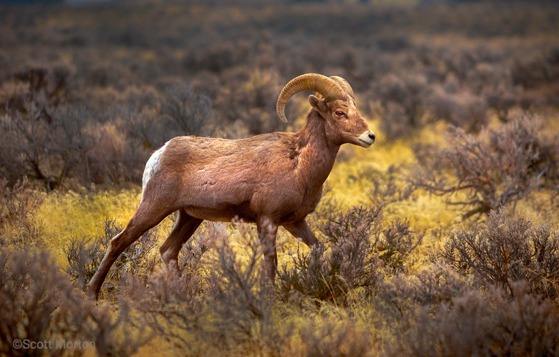 Big Horn Sheep – Vantage, WA