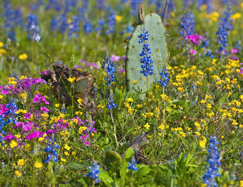 Bluebonnets and Prickly Pear