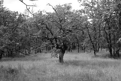 Gary Oak Grove - Cowichan Valley BC