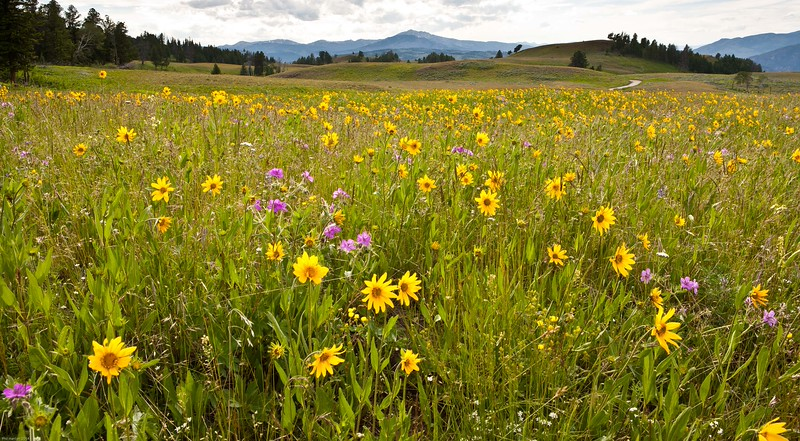 Wild flowers on the Blacktail Plateau.