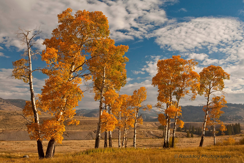 Yellowstone Aspens
