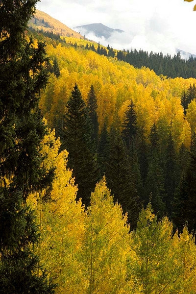 Aspen with misty peak, Ohio Pass, Colorado