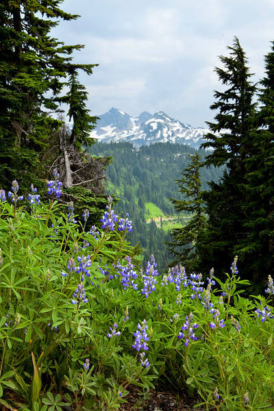 Lupines, Mt Rainier, Washington