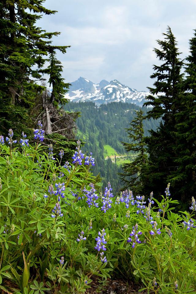 Lupines, Mt Rainier, Washington
