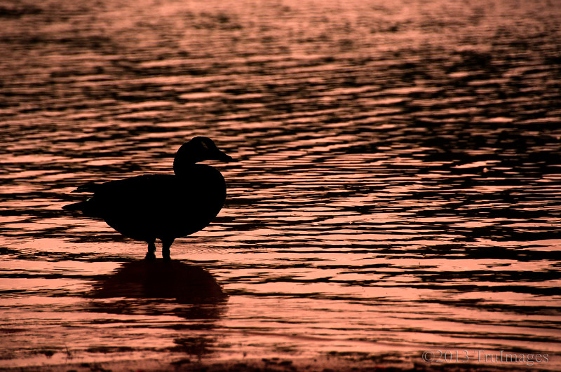 May 15<br /> Silhouette <br /> <br /> A Canada goose stands in a shallow lake, as if contemplating life!<br /> <br /> Thanks for the wonderful comments on yesterdays photo!! There is so much talent here and I appreciate each and every comment!