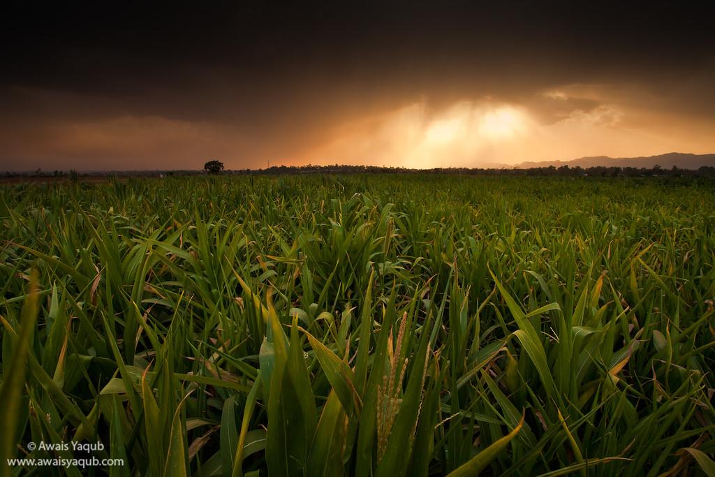 Maize grown for livestock fodder