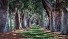 Avenue of the Oaks, St. Simons, Ga.