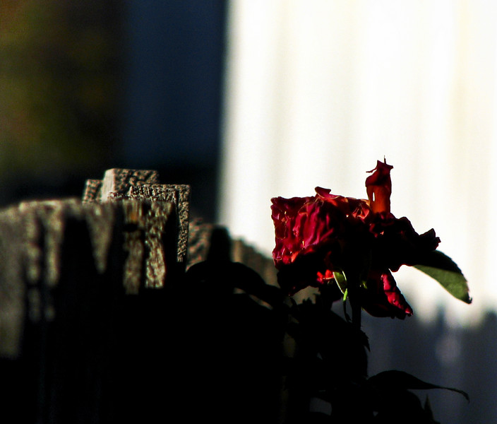 Dying rose.