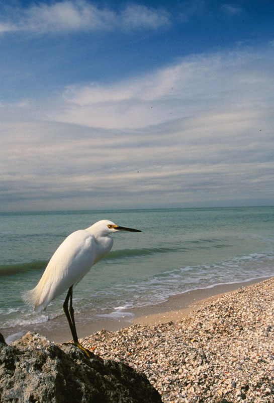 Egret, Naples, Florida
