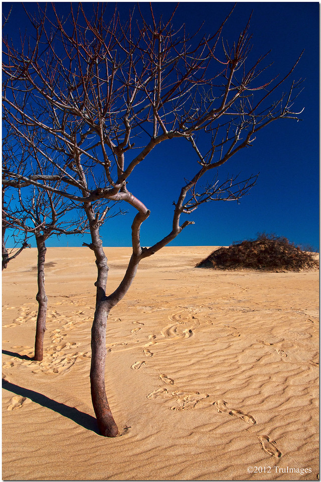 Feb 3<br /> a pair of trees in the sand dunes @ Jockey's Ridge
