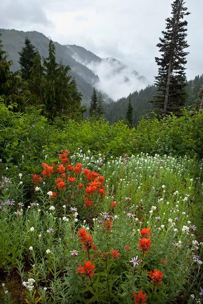 Indian Paintbrush with misty mountains, Mt Rainier, Washington