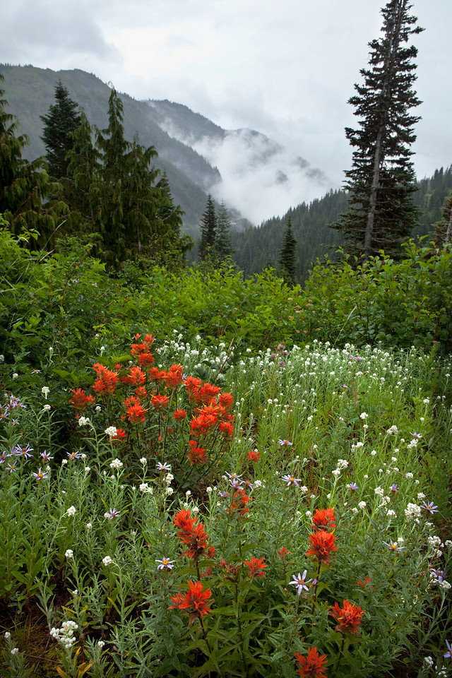 Indian Paintbrush with misty mountains, Mt Rainier, Washington