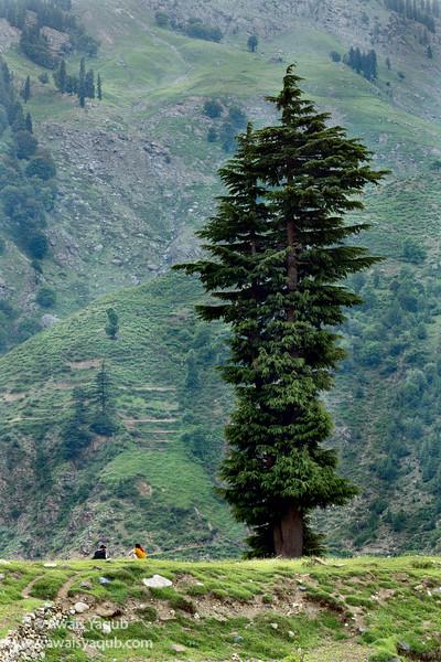 One tree two men
