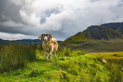 Wise Ram of the Quiraing
