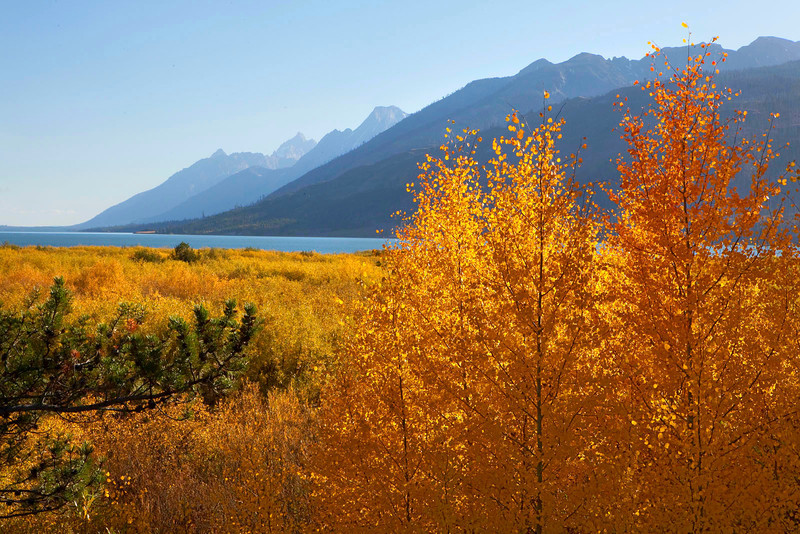 Fall Aspens and The Tetons, Wyoming