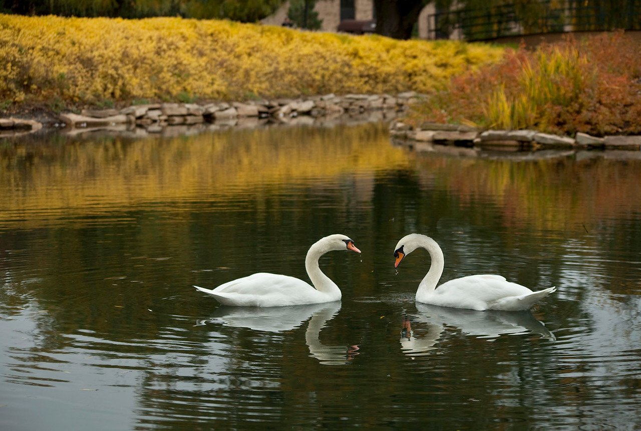 Swans and fall color, Illinois