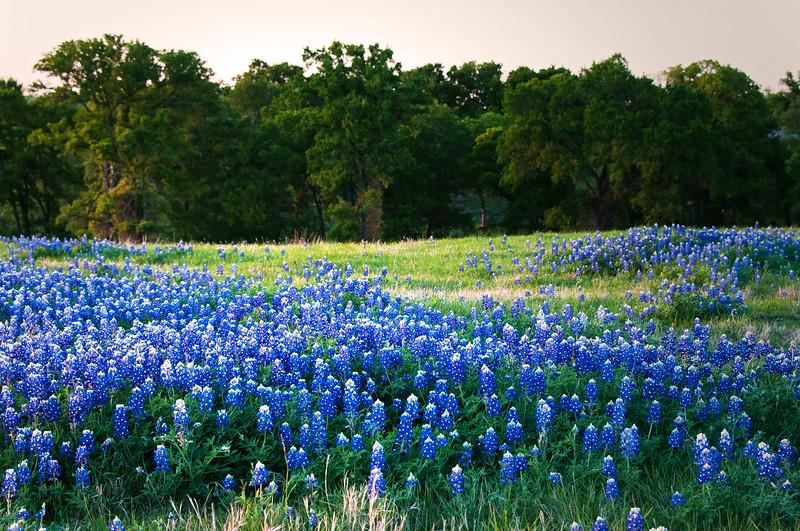Bluebonnet patches - near Ennis, TX