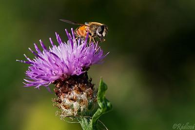 Hoverfly (Eristalis tenax)