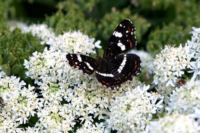Map Butterfly (Araschnia levena)