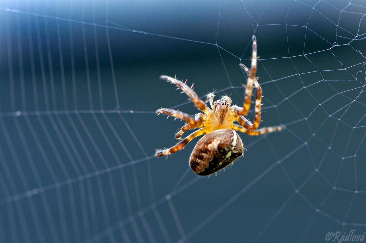 Garden Spider <I>(Araneus diadematus)<I/>
