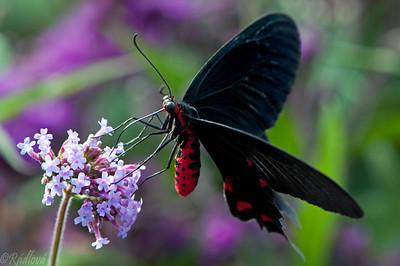 Red-bodied Swallowtail(Papilio polydorus)