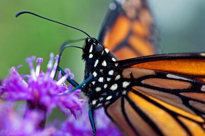 Monarch(Danaus plexippus)