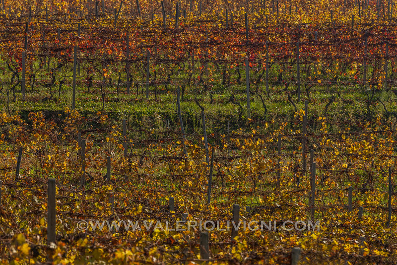 Langhe - Fall vines at Cossano Belbo