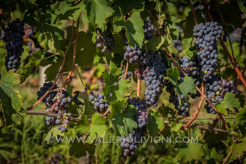 Langhe -  Nebbiolo grape