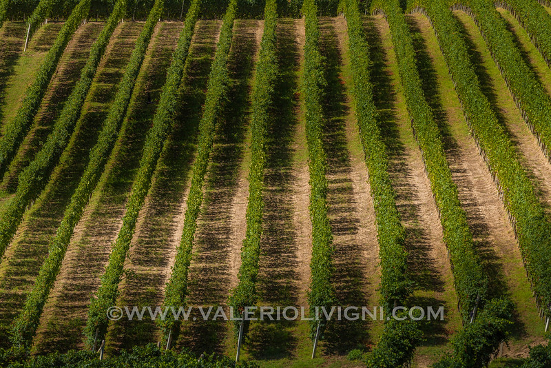 Langhe -  Vineyards