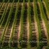 Langhe -  Vineyards