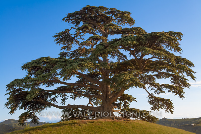 Langhe -  Cedar of Lebanon (cedar of God) at Annunziata, La Morra<br /> © UNESCO & Valerio Li Vigni - Published by UNESCO World Heritage