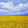 Rapeseed bloom, Grangeville Idaho, 2003