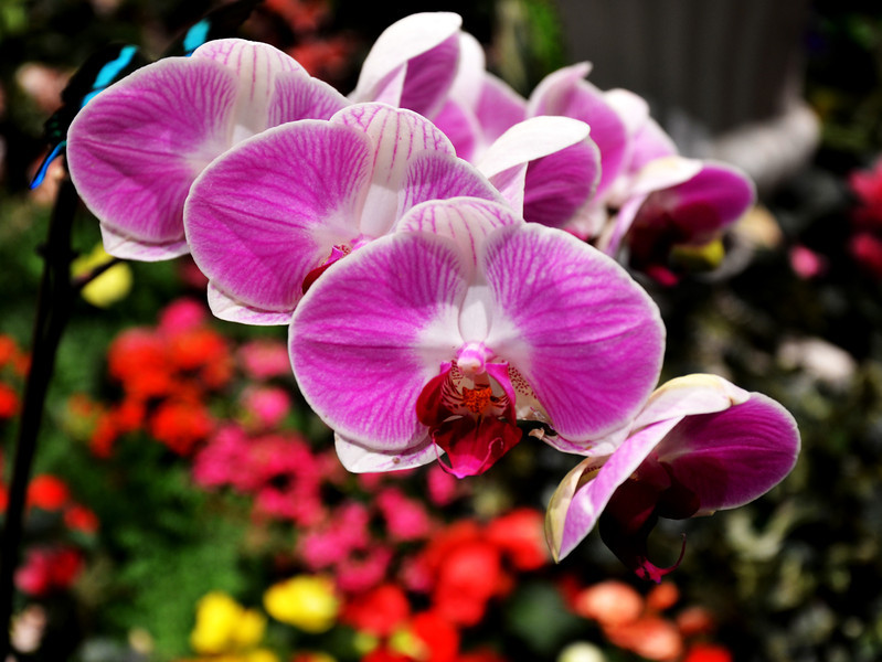 Orchids in the Bellagio Garden in Las Vegas Nevada