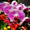 Orchids in the Bellagio Garden in Las Vegas Nevada
