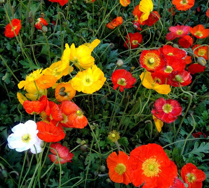 Poppies at Bellagio Botanical Gardens in Las Vegas