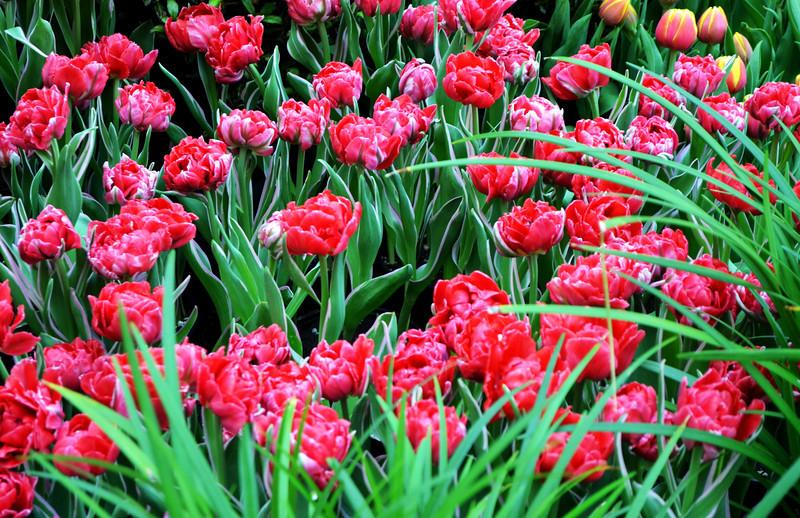 Tulips at the Bellagio Botanical Gardens in Las Vegas